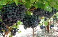انگور سیاه و این همه خواص عالی